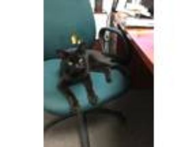 Adopt Lucky a All Black Domestic Mediumhair / Mixed cat in Yuba City