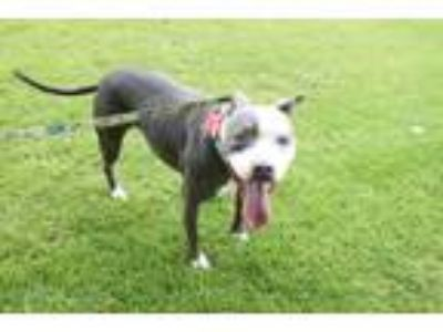 Adopt Tinkerbell the Tripod a Gray/Silver/Salt & Pepper - with White Pit Bull