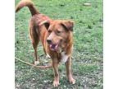 Adopt Sadie a Tan/Yellow/Fawn Labrador Retriever / Labrador Retriever dog in