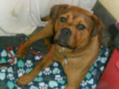 Adopt *TONY a Brown/Chocolate - with White Rottweiler / Mastiff / Mixed dog in