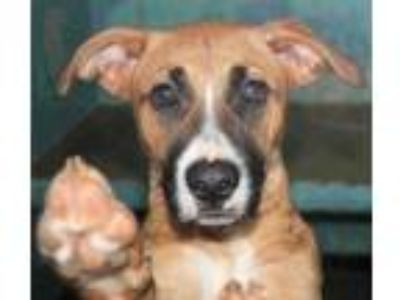 Adopt Java a Tan/Yellow/Fawn Retriever (Unknown Type) / Boxer / Mixed dog in