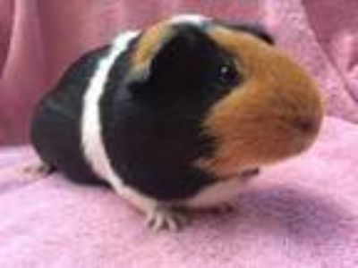 Adopt Velda (living with babies) a Guinea Pig small animal in Imperial Beach