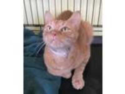 Adopt Niko a Domestic Short Hair
