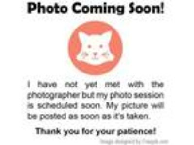 Adopt Schuster - Reduced Fee! a Brown Tabby Domestic Shorthair / Mixed (short