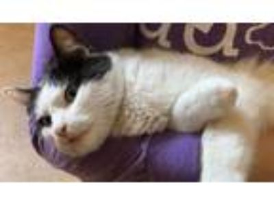 """Adopt Stray Cat """"Cow"""" a Domestic Short Hair"""