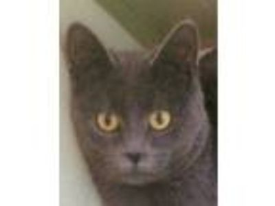 Adopt Bashful a Domestic Short Hair