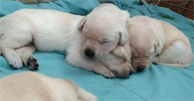 AKC Lab Puppies - Yellows & 1 Fox Red