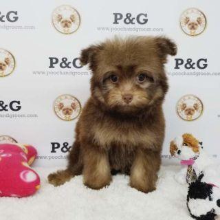 Pomeranian-Poodle (Toy) Mix PUPPY FOR SALE ADN-96433 - POMAPOO MARK MALE