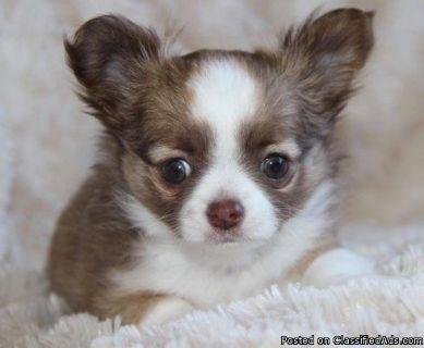 IUGGBFGH Chihuahua Puppies
