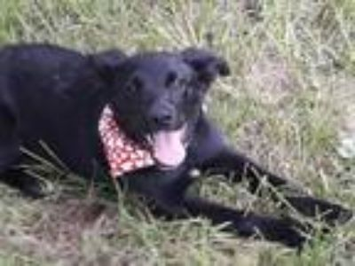 Adopt Checkers- pretty and sweet girl! a Border Collie
