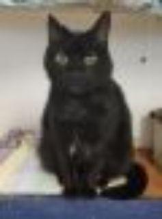 Nippers Domestic Short Hair Cat