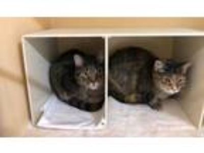 Adopt MAC a Gray or Blue Domestic Shorthair / Domestic Shorthair / Mixed cat in