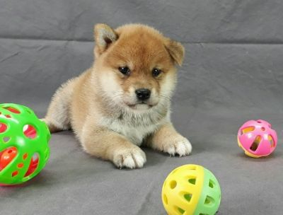 Shiba Inu PUPPY FOR SALE ADN-96803 - HOMEBRED Red Shiba Inu puppy LA SF SD SEA NY