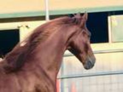 Flashy Experienced Trail Gelding