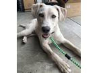 Adopt Smedley a White Labrador Retriever / Mixed dog in Alpharetta