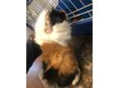 Adopt Sam a Calico Guinea Pig small animal in Fort Collins, CO (25317166)
