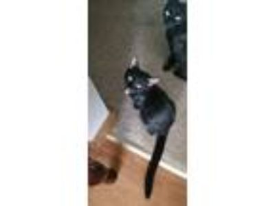 Adopt Patriot kittens a Black (Mostly) Domestic Shorthair (short coat) cat in