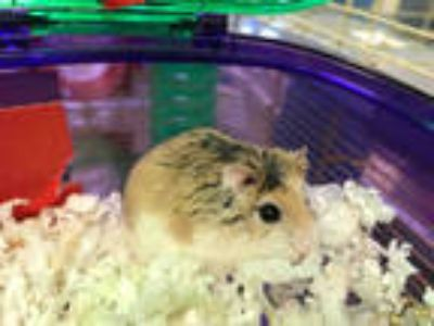 Adopt BUZZ a Tan or Beige Hamster / Mixed small animal in Plano, TX (25454336)