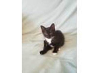 Adopt Rose a Black & White or Tuxedo Domestic Shorthair (short coat) cat in