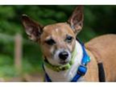 Adopt JackJack Incredible a Parson Russell Terrier, Mixed Breed