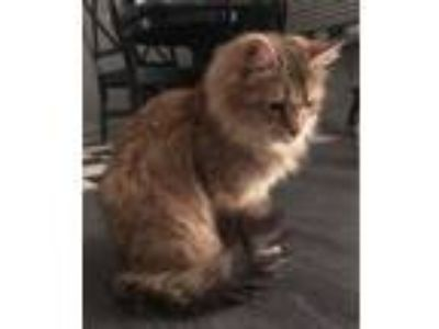 Adopt Amber a Maine Coon