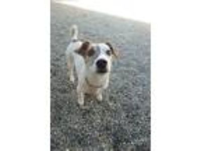 Adopt Molly Needs a Home by 7/20 a Jack Russell Terrier