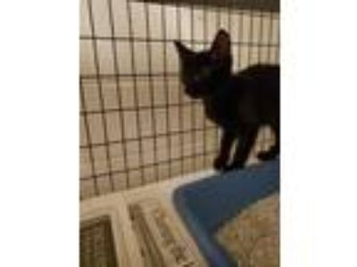 Adopt Tree-Fiddy a All Black Domestic Shorthair / Domestic Shorthair / Mixed cat