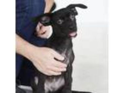 Adopt Baron a Black Retriever (Unknown Type) dog in Clarksdale, MS (25181624)
