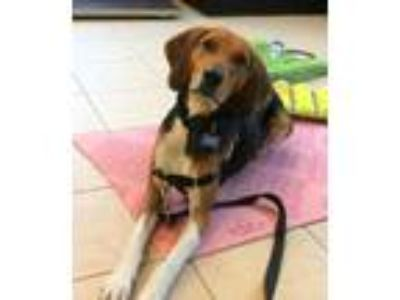 Adopt Tabasco/Baxter a Tricolor (Tan/Brown & Black & White) Hound (Unknown Type)