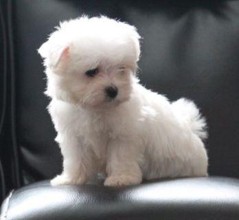 Maltese PUPPY FOR SALE ADN-95384 - Maltese Puppy Female
