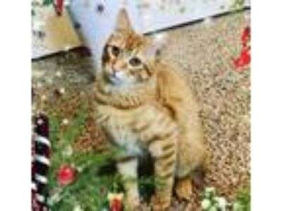 Adopt Rory a Orange or Red Domestic Shorthair / Mixed (short coat) cat in