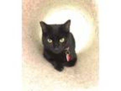 Adopt Jackie a All Black Domestic Shorthair (short coat) cat in Van Nuys