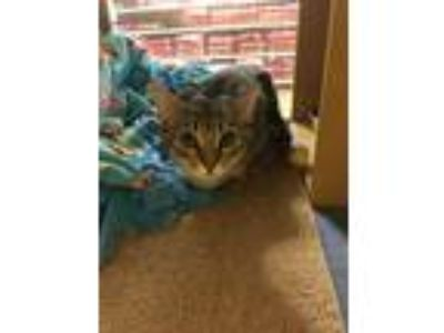 Adopt Artemis a Tan or Fawn Tabby Domestic Shorthair (short coat) cat in