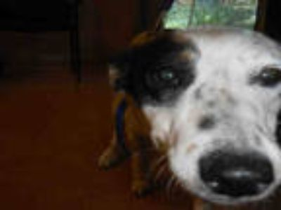 Adopt CAISIE a White - with Black Australian Cattle Dog / Mixed dog in San Jose