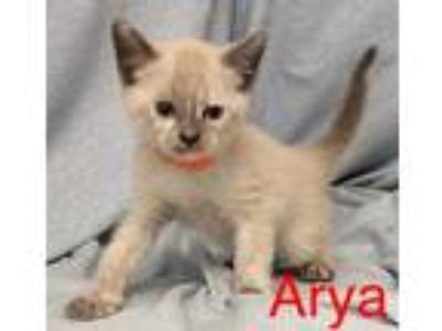 Adopt Arya a Cream or Ivory Domestic Shorthair / Domestic Shorthair / Mixed cat