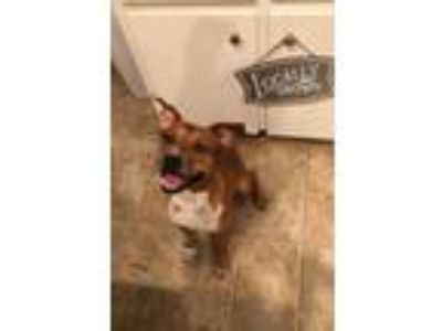 Adopt Hunter a Brown/Chocolate - with White Boxer / Cattle Dog / Mixed dog in