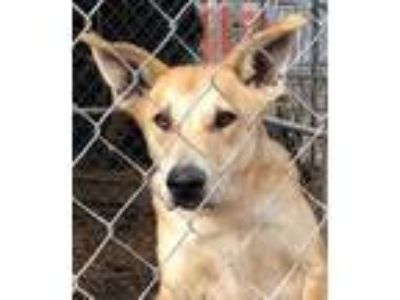 Adopt Cain a German Shepherd Dog, Mixed Breed