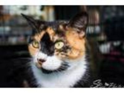 Adopt Allie (CL) a Calico or Dilute Calico Domestic Shorthair / Mixed (short