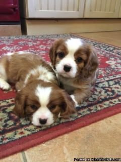 Litter Of Cavalier King Charles Spaniels puppies