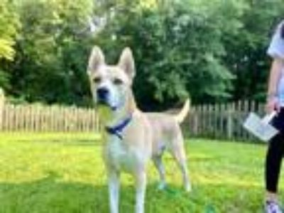 Adopt Royal a Tan/Yellow/Fawn Husky / Labrador Retriever / Mixed dog in Wantagh