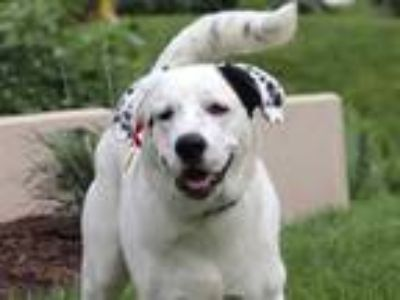 Adopt CARLEY a White - with Black Great Pyrenees / Mixed dog in Maryland