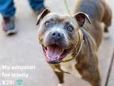 Adopt CHANEL a Brindle - with White American Pit Bull Terrier / Mixed dog in
