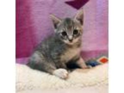 Adopt Turtle a Gray or Blue Domestic Shorthair cat in Oyster Bay, NY (25832838)