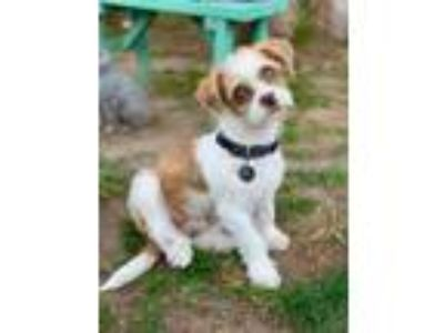 Adopt Charlie a Tan/Yellow/Fawn Shih Tzu / Terrier (Unknown Type