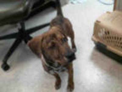 Adopt SPYRO a Brindle Plott Hound / Mixed dog in Plano, TX (25204818)
