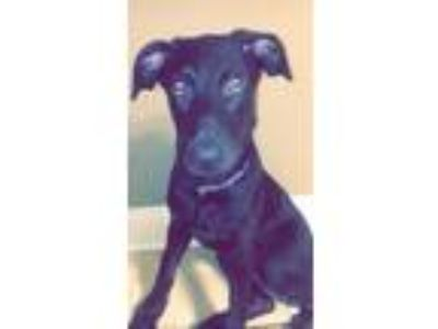 Adopt Roscoe a Black - with Tan, Yellow or Fawn German Shepherd Dog / Catahoula