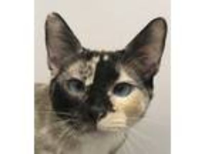 Adopt Crayola a Tortoiseshell Siamese / Mixed (short coat) cat in San Marcos