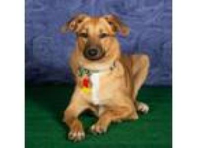 Adopt Tilly a German Shepherd Dog, Labrador Retriever