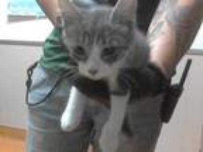 Adopt HEATHER a Gray, Blue or Silver Tabby Domestic Shorthair / Mixed (short