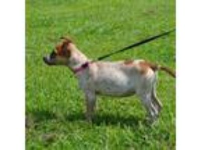 Adopt Gina a Australian Cattle Dog / Blue Heeler